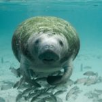 Have you ever seen a Manatee?